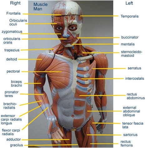 The number of fibers that contract determines the strength of the muscular force. Back Muscle Anatomy Model - Human Anatomy