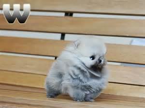 Micro Teacup Pomeranian Husky Puppies