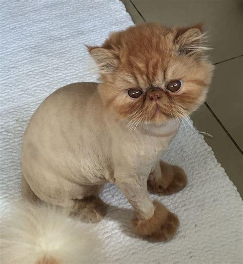 haircut kitty cat haircut long haired