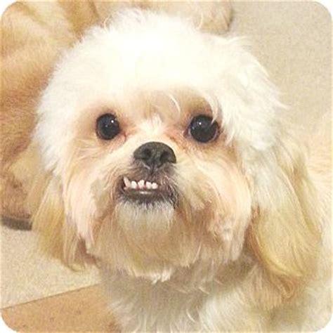 sugar adopted puppy sugar orlando fl pekingese