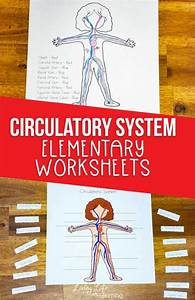 Circulatory System Worksheets For Kids
