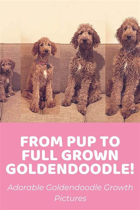 Goldendoodle Size Chart for Mini, Medium, and Standard ...