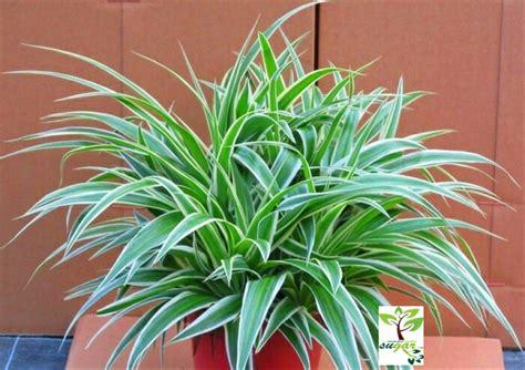 jual tanaman bulu ayam spider plant lapak susanties