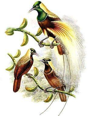 kaiser paradiesvogel wikipedia