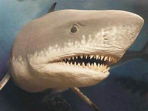 Extinct Megalodon, the largest shark ever, may have grown ...