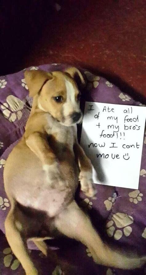 bloated puppy cuteloyalfunny animals dog shaming