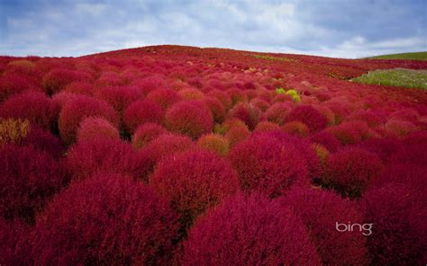 bush in japanese bing wallpapers daily march 2013