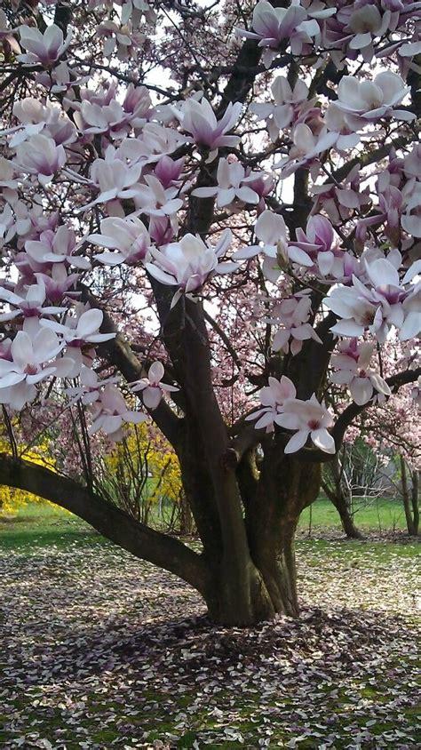 Las magnolias una flor que te sorprendera