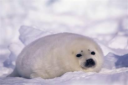 Seal Wallpapers Backgrounds Desktop Animal Background Sealant