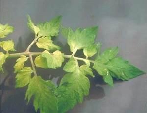 Tomatenblätter Rollen Sich Ein : warum werden bl tter in pfeffer gelb was k nnte der grund ~ Lizthompson.info Haus und Dekorationen