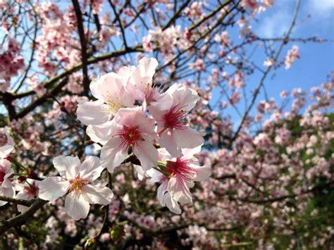 kostenlose bild kirschbaum bluete rosa blueten fruehling