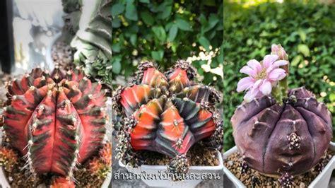 ยิมโน 5 กระบองเพชร สายพันธุ์ใหม่จาก 'กระท่อมลุงจรณ์ ...