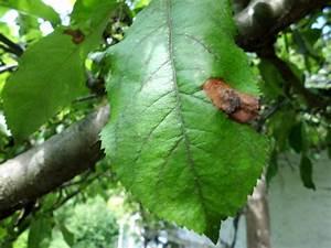 Hortensien Blätter Werden Braun Frost : apfelbaum bl tter bekommen braune r nder ~ Lizthompson.info Haus und Dekorationen