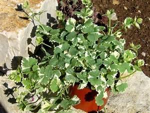 Winterharte Pflanzen Für Balkonkästen : glechoma hederacea variegata wei bunter gundermann h ngepflanze pflanzen versand f r die ~ Orissabook.com Haus und Dekorationen