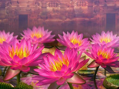 Pink Lotus Flowers Water Lilies Hd Wallpaper For Desktop