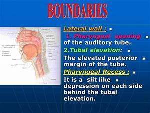 PHARYNX Dr. Jamila -ELmedany. - ppt video online download