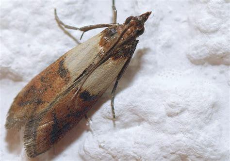 comment se debarrasser des moucherons dans la cuisine comment se d 233 barrasser des mites alimentaires dans la cuisine leryam