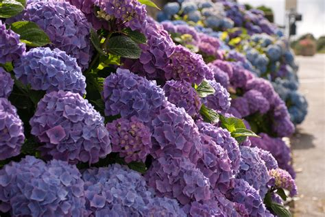 Garden Flowers Hydrangeas In All Their Different Forms