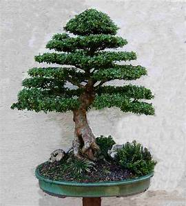 Bonsai Chinesische Ulme : eine chinesische ulme geht immer bonsai forum de ~ Sanjose-hotels-ca.com Haus und Dekorationen