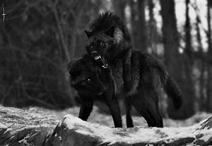 Black and White wolf nature forest wolves wild Woods black ...