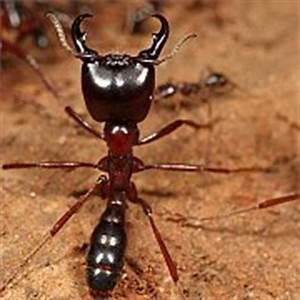 Ameisen Mit Flügel : welten honk tiere wanderameise titans ~ Buech-reservation.com Haus und Dekorationen