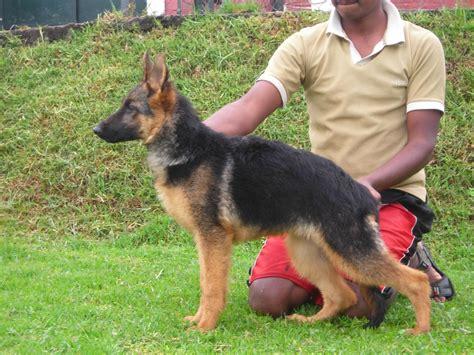 german shepherd puppies  salevivek lajapathie