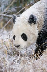 Giant Panda Snow