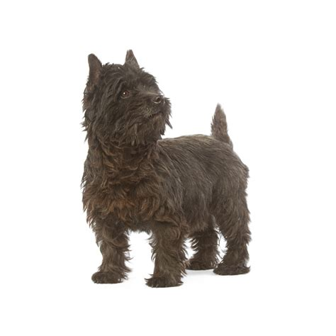what does cairn cairn terrier ra 231 as de c 227 es royal canin