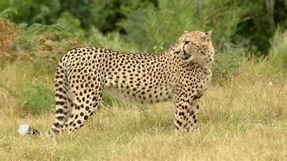 Cheetah Animal Animals Wallpapers Savannah Rainbow Grass