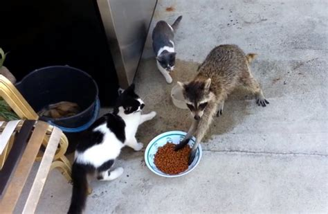 funniest racoon voice  video    today
