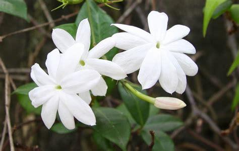 gambar bunga melati putih gambar top