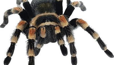 mexican spiders animals momme