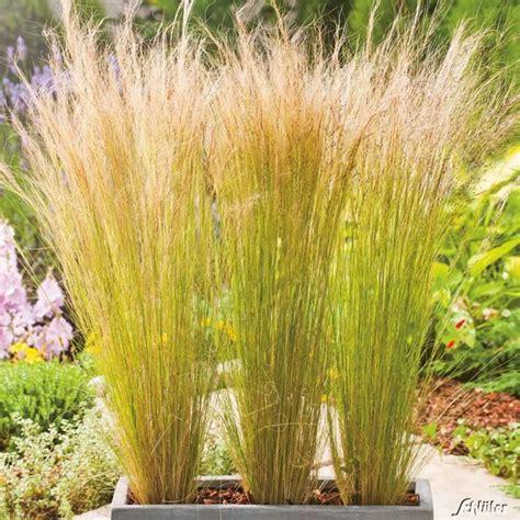 Garten Sichtschutz Pflanzen Hoch by Ziergr 228 Ser Im Topf F 252 R Terrasse Und Balkon Garten