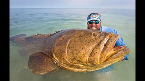 grouper goliath quickie angling