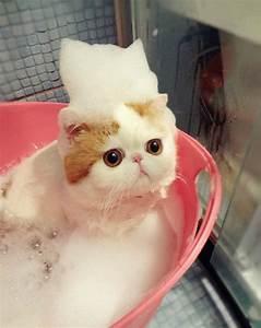 Gato snoopy | gato mas bonito del mundo | Petdarling.com