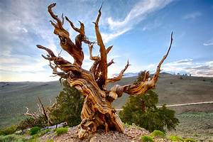 The Oldest Trees in the World – the extreme horticulturist