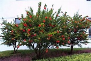 Flowering doubleflowered pomegranate trees...   Fruit ...