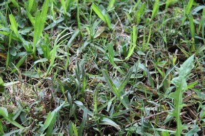 Treating Powdery Mildew On Plants Mold Turfgrass Disease Tips For Treating Slime Mold On Grass