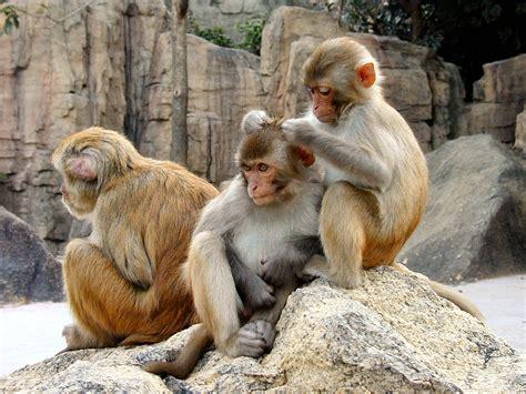 rhesus macaque psychology wiki fandom powered by wikia