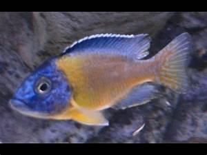 Aulonocara stuartgranti blue neon Undu reef PISCES