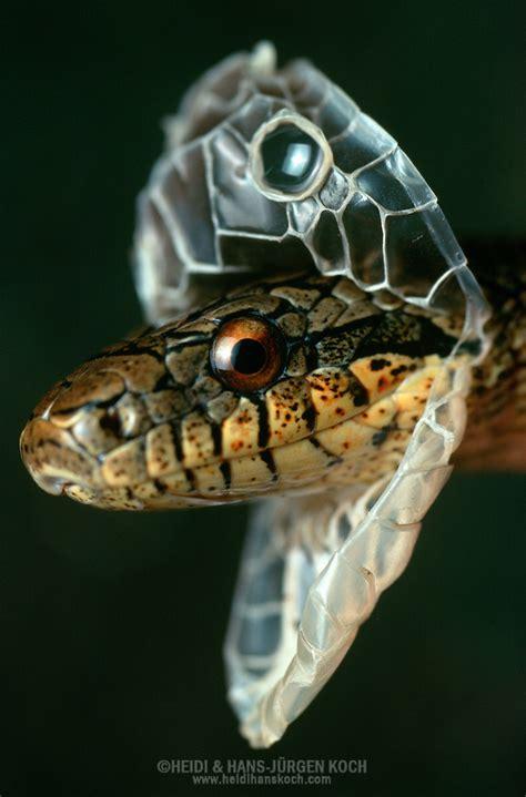 Shedding Snake by Snake Ratsnake Elaphe Dione Shedding Of The Skin