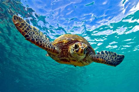 Images Of Turtles Turtle Testudines Chelonii Divers Who Want To Learn More