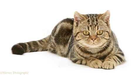 british shorthair tabby tortoiseshell cat lying photo wp