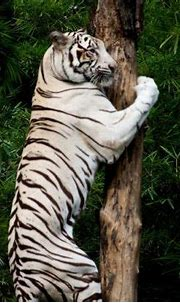 25 Best White Tiger Photographic - Meowlogy