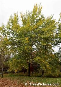 Poplar Tree  Lots Of Pictures  Images  Photos  Facts