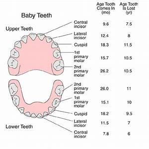 Names And Locations Of Baby Teeth With Average Ages Of
