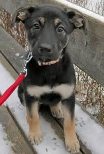German Shepherd and Lab Mix Puppy