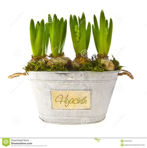 growing hyacinth flower bulbs in pot stock photo image
