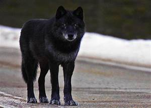 The Black Wolf: From Renegade to Alpha Male Pack Leader ...
