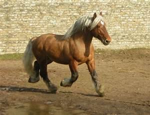 Combien De Chevaux : les races des chevaux de traits chevalinfo ~ Medecine-chirurgie-esthetiques.com Avis de Voitures